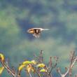 『花水川の野鳥』 モズ