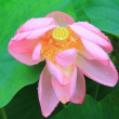 双頭蓮が咲いていました:勝林寺(東福寺)