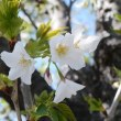 大島桜。。。。