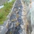 ハクサイの苗を植えつけ、ベニカSを散布しました