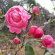 年越しのバラ