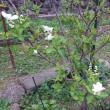 利休梅の開花