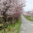 まだまだ桜が満開