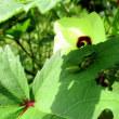 オクラの葉っぱに雨蛙