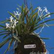 フウラン 山採り槇の木玉切付けの花