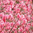 梅咲いて花見弁当華が咲く