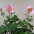 ✿鉢植えの花✿