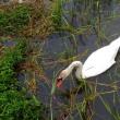 手賀沼に白鳥の生まれるころ―2