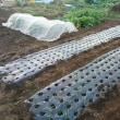 玉ねぎを400本植えました