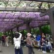 藤の花 (京都市南区上鳥羽)