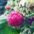 再びラズベリーの収穫