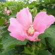 紅葉葵(もみじあおい)の花とフヨウの花