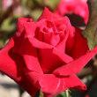 琵琶湖西岸の薔薇
