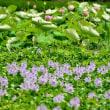 本薬師寺跡の布袋草