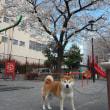 東京の桜満開!!