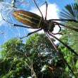 意外と青い空に映えるオオジョロウグモ