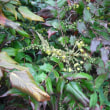咲き始めてます。ヒイラギナンテンの花