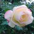 バラの季節の巻