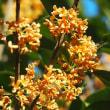 香りで秋の訪れを告げる花、金木犀