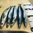 さんま~秋刀魚~サンマ釣り 2018