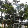 ビワの木にはしごをかけて