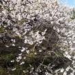 備後護国神社の南京桜が見頃