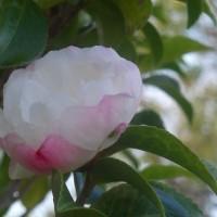 サザンカが咲き始める@野々池貯水池