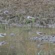 湿地には、アオアシシギが数羽いた。