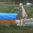 いい雨でした 畑全景-たっぷりの雨で元気な野菜-