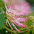 「ネムノキ」の花