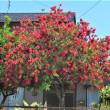 赤いブラシの木とバラ