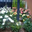 六華苑のバラ7が見ごろ