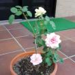 玄関で発見した、2色のバラ