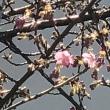 #田町 で初の、春の #桜 咲き始め( #河津桜 )