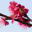 植物園の桜はまだまだです