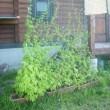 この夏の野菜成長日記