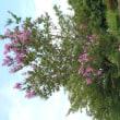 残暑厳しい初秋の花たち