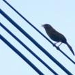 8/18(火)探鳥記録写真(狩尾岬の鳥たち:キアシシギ、ガビチョウほか)