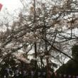 桜の咲き進み早し 「第66回衣笠さくら祭」衣笠山公園 桜の開花状況 2018年3月21日(水)