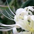 今日は彼岸の入り 待って居た様に咲くヒガンバナ