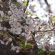 2018年4月2日の隅田川の桜