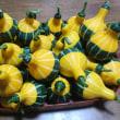 オモチャカボチャの収穫