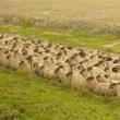 楽しかった旅の一コマ (157) モン・サン・ミッシェルと羊