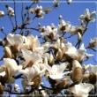 Magnolia heptapeta