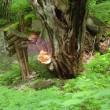 カツラの巨木につくマスタケ