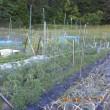 トマトの防鳥ネットを設置準備