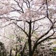 桜は、下を向いて咲く花!? ~ありふれた日常の中の小さな発見~