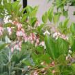 白いニゲラ ピンクのエゴノキ・・・いつもと違った花色