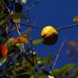 カリンの樹形は面白い・・カリンの紅葉と果実