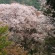 城山から高尾山を桜見ハイキング